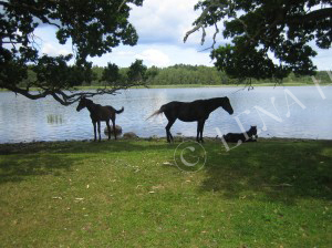 Hästar vid vatten