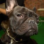 Fransk bulldog svart