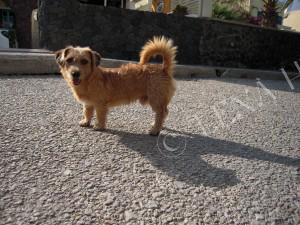 Grekisk hund
