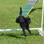 Agility - pudel över hinder