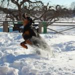 Rottweiler valp i djup snö